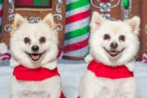 Pets across the country get their photo taken with Santa at the annual Santa Paws event by Furtography.