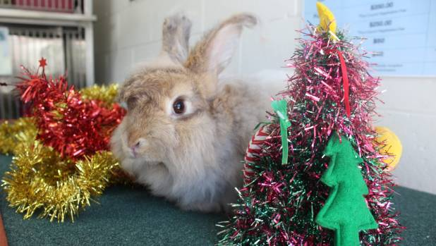 12 days of SPCA Christmas pets: Will you adopt gorgeous Bobby?