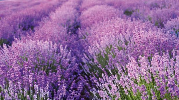 Lavender farming in Carterton