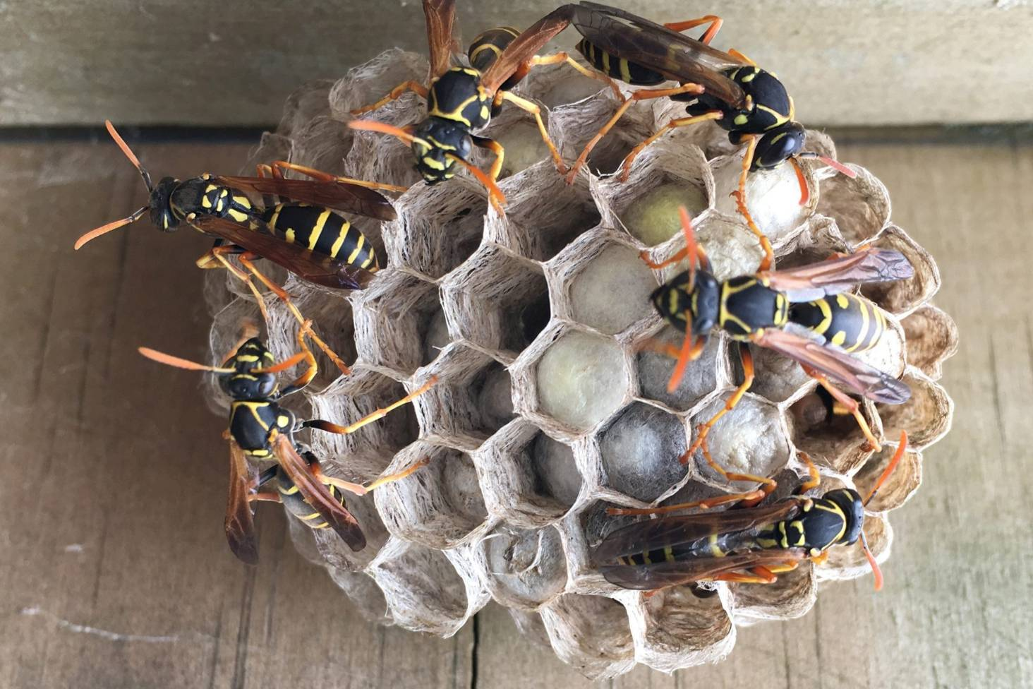 be in the know this summer to wipe out paper wasps in our urban