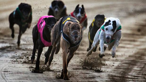 Greyhound Racing New Zealand says it is already actively working on all 20 recommendations in the Hansen report.