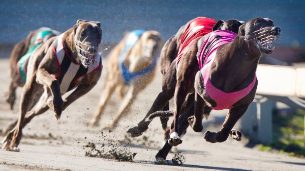 The Hansen report said 1447 greyhounds have been euthanised in the last four seasons.