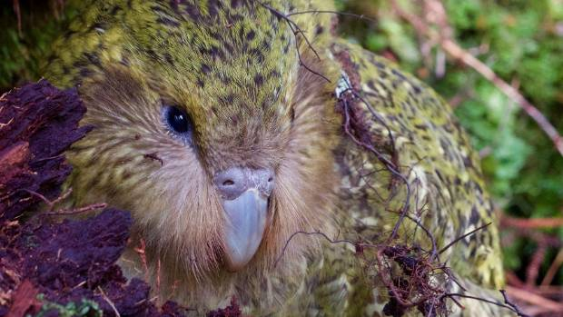 """Kākāpō expert Dr Andrew Digby: """"Jimmy was one of my favourite kakapo. We'll learn from this."""""""