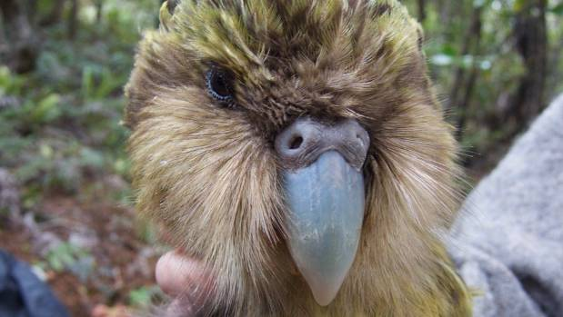 A post-mortem has shown Jimmy the kākāpō died from complications following an X-ray.