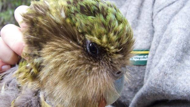 """Kākāpō expert Dr Andrew Digby says Jimmy's death is """"particularly devastating"""" because he hadn't produced offspring."""