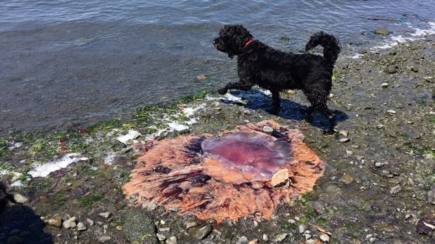 Sarah Breen caught these images of large lions mane jellyfish while out walking her dog at Petone Beach.
