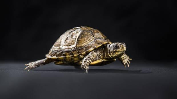 Eastern Box Turtle (Terrapene carolina carolina). Box turtles get their name from the hinge in their shell that allows ...