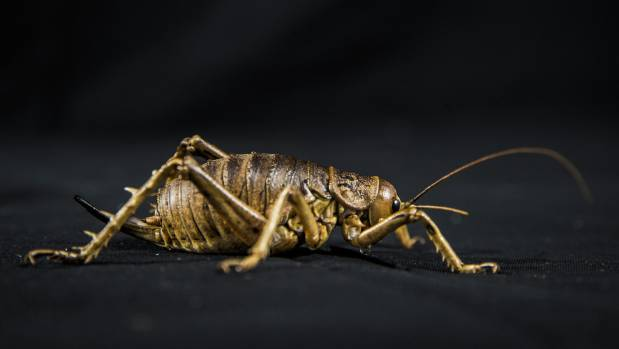 Giant Weta (Deinacrida rugosa). This species of weta is one of the largest insects in the world. They reach up to 7 ...
