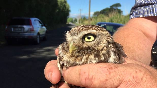 Wesley The Owl Flying Home In Time For Christmas