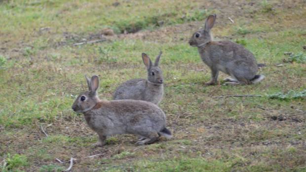 Rabbits are conservatively estimated to be costing New Zealand $50 million  in lost production each year