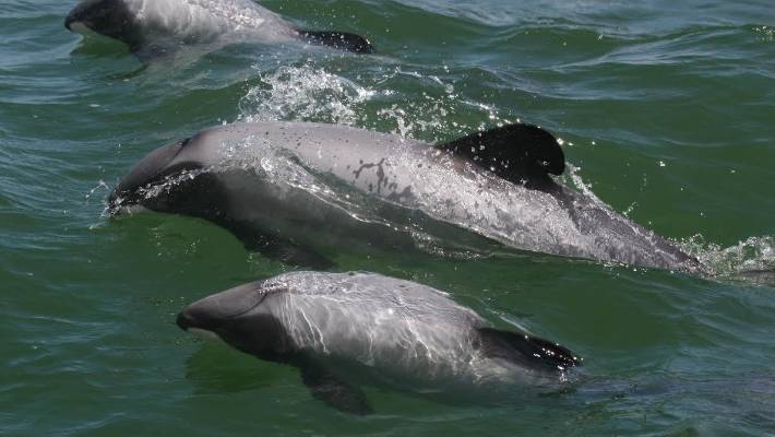 With just 60 left, Māui dolphin are listed nationally and internationally as critically endangered.