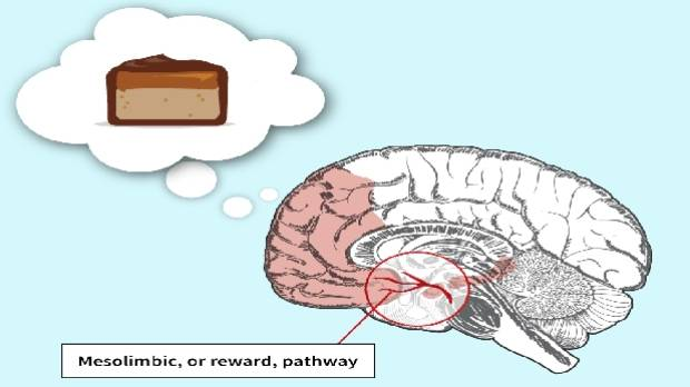 The part of the brain that senses hunger is also integrated into the rewards system.