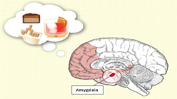 This is what sugar does to your brain stuff nicotine alcohol sugar the desire for them is also linked to the part ccuart Image collections