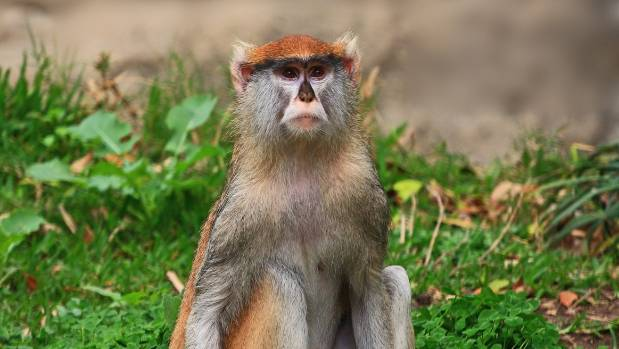 Woburn Safari Park Fire Kills 13 Patas Monkeys