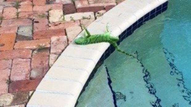 Extreme cold has iguanas falling from trees in Florida