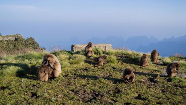 Some of the locals in the Simien Mountains.