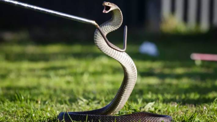Australian Man Dies After Snake Bites Him As He Tries To Protect Pet Stuff Co Nz