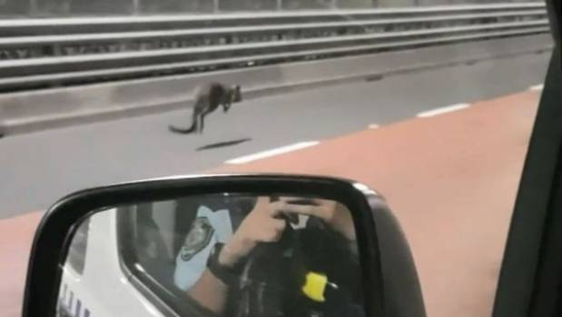 Wayward wallaby hops along Sydney Harbour Bridge
