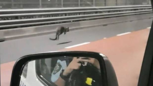 CAUGHT ON CAMERA: Police chase wallaby in Sydney