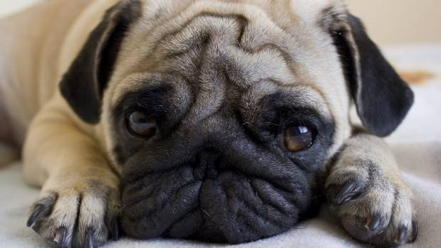 Trade Me Bans Sale Of Pugs British Bulldogs French