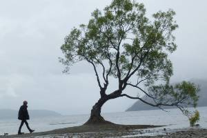 The tree is usually surrounded by water but the drought has caused lake levels to drop.