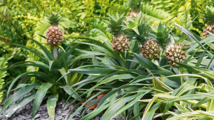 Yes You Can Grow Pineapples In New Zealand Stuffconz