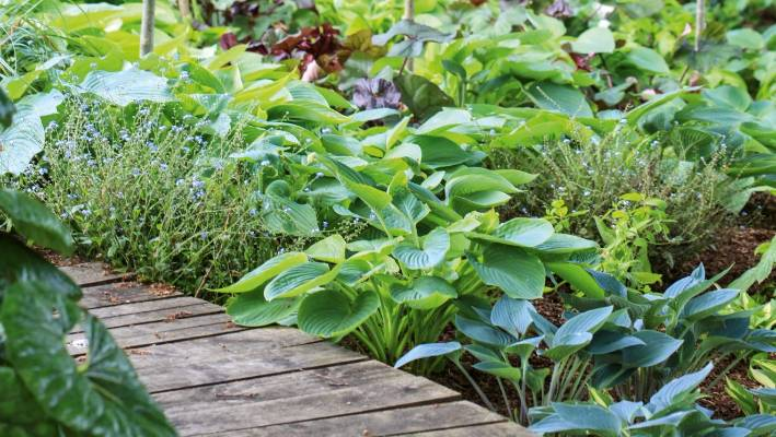 Hostas Plant Care Variety Guide Stuffconz