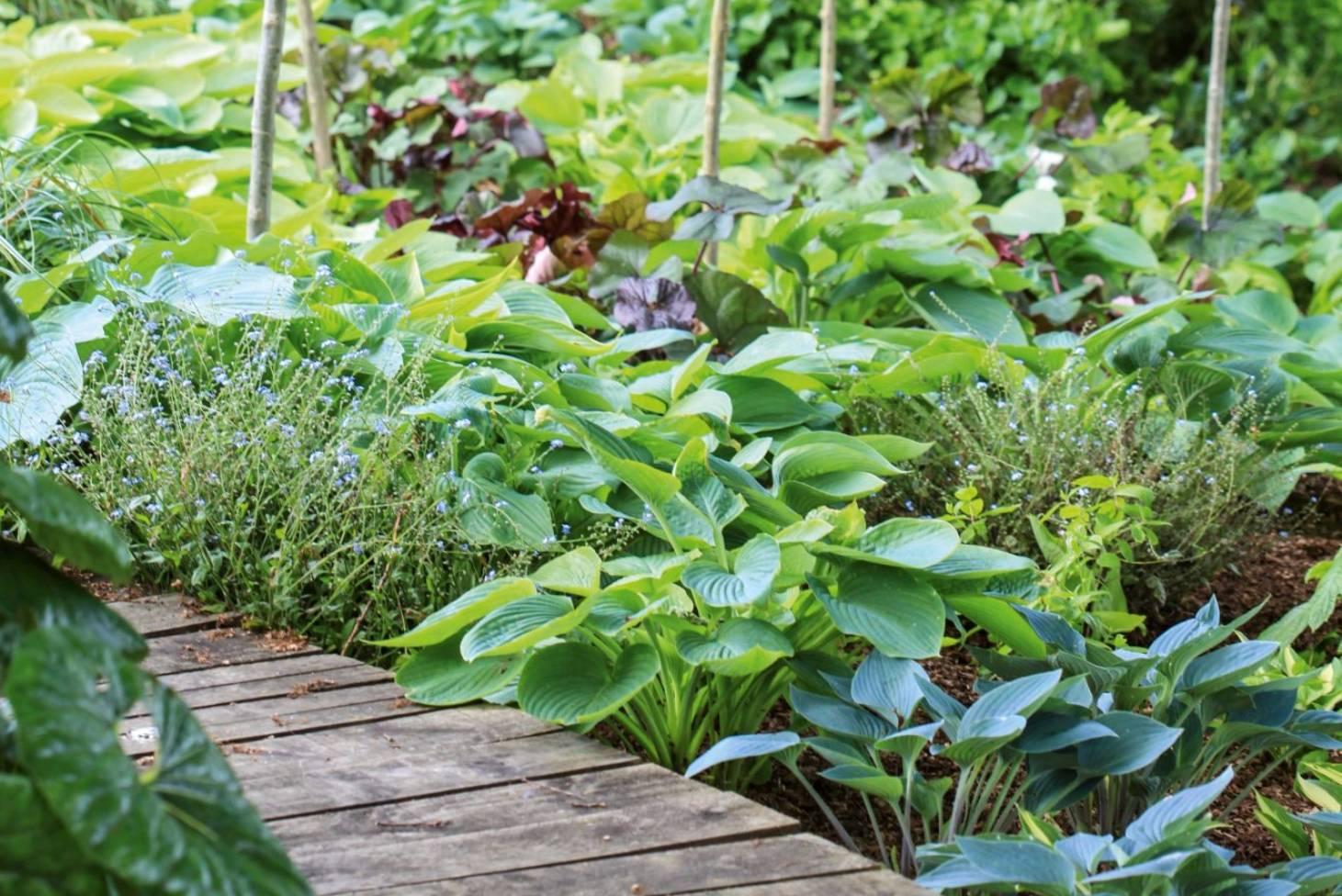Hostas Plant Care Variety Guide Stuffconz