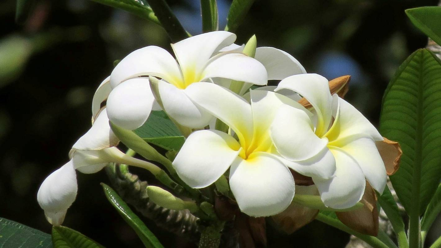 How To Grow Tropical Frangipani In New Zealand Stuff