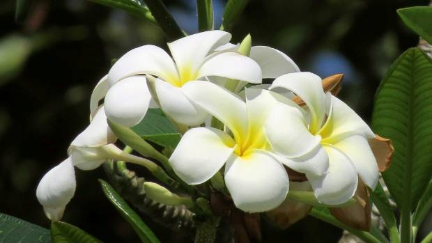 How To Grow Tropical Frangipani In New Zealand Stuff Co Nz