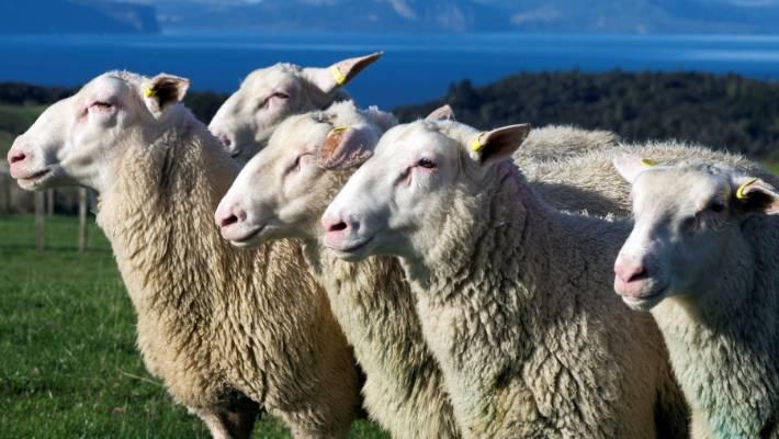 Madison : East friesian sheep for sale pa
