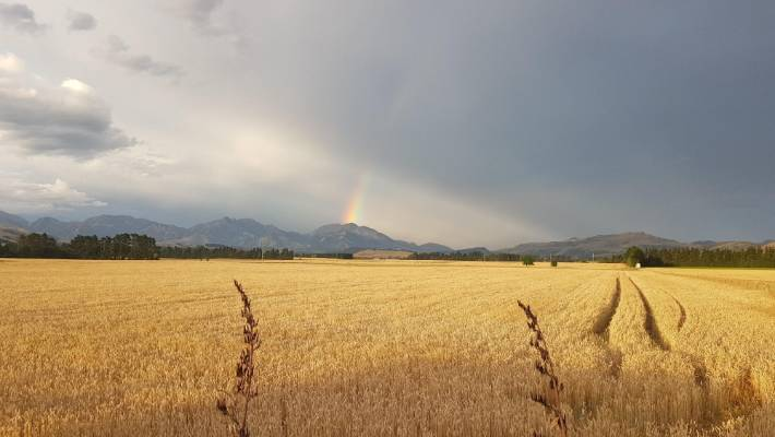 weather photos of the week fields of gold stuff co nz