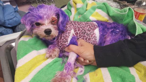 Dog almost  dies from severe burns after being dyed purple
