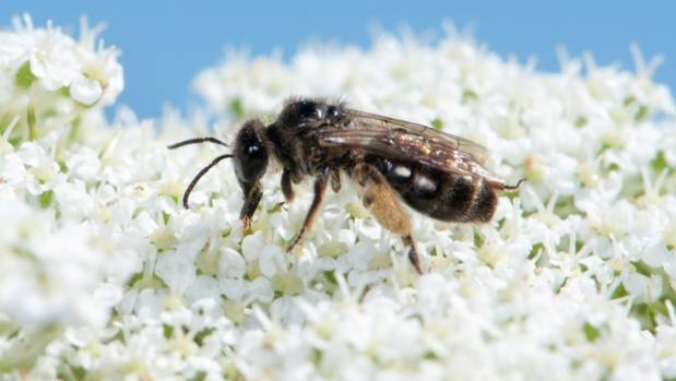 Christchurch's red zone to help boost endangered bee population