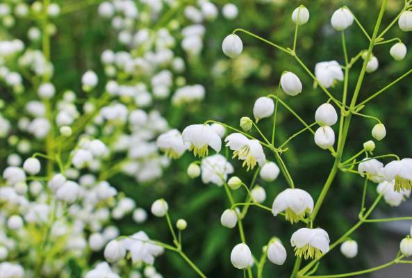 White flowers a cool look for hot summer gardens stuff thalictrum delavayi album is a rare white form of this family of tall mightylinksfo