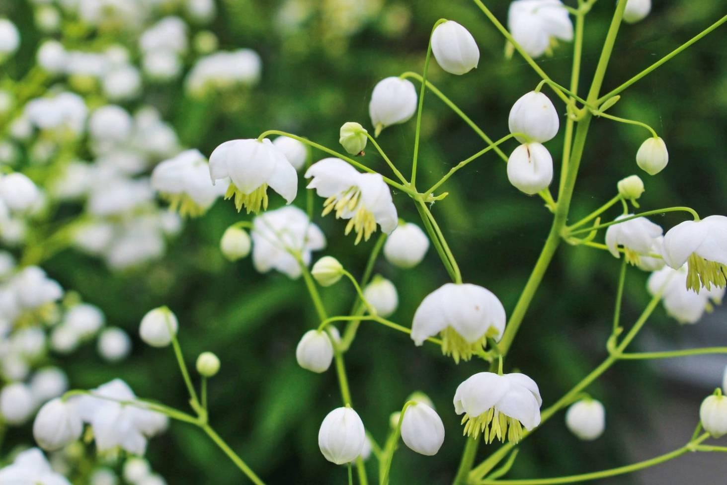 white flowers: a cool look for hot summer gardens | stuff.co.nz