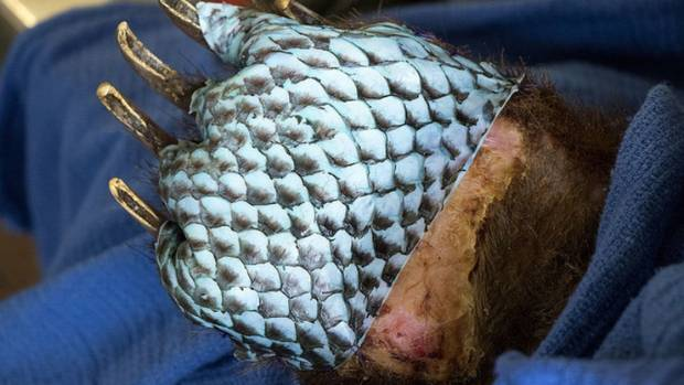 Burned Bears Successfully Treated With Fish Skin