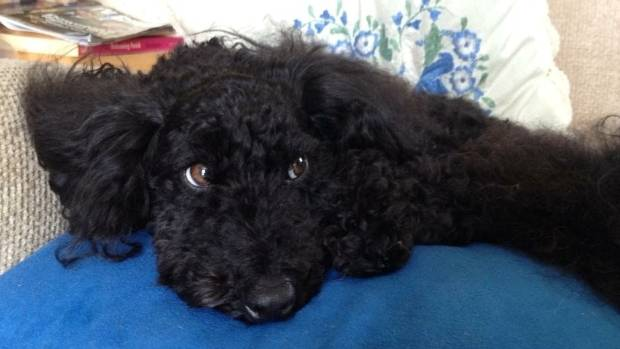 Georgie the poodle was killed in a horrific dog attack in Auckland's North Shore.