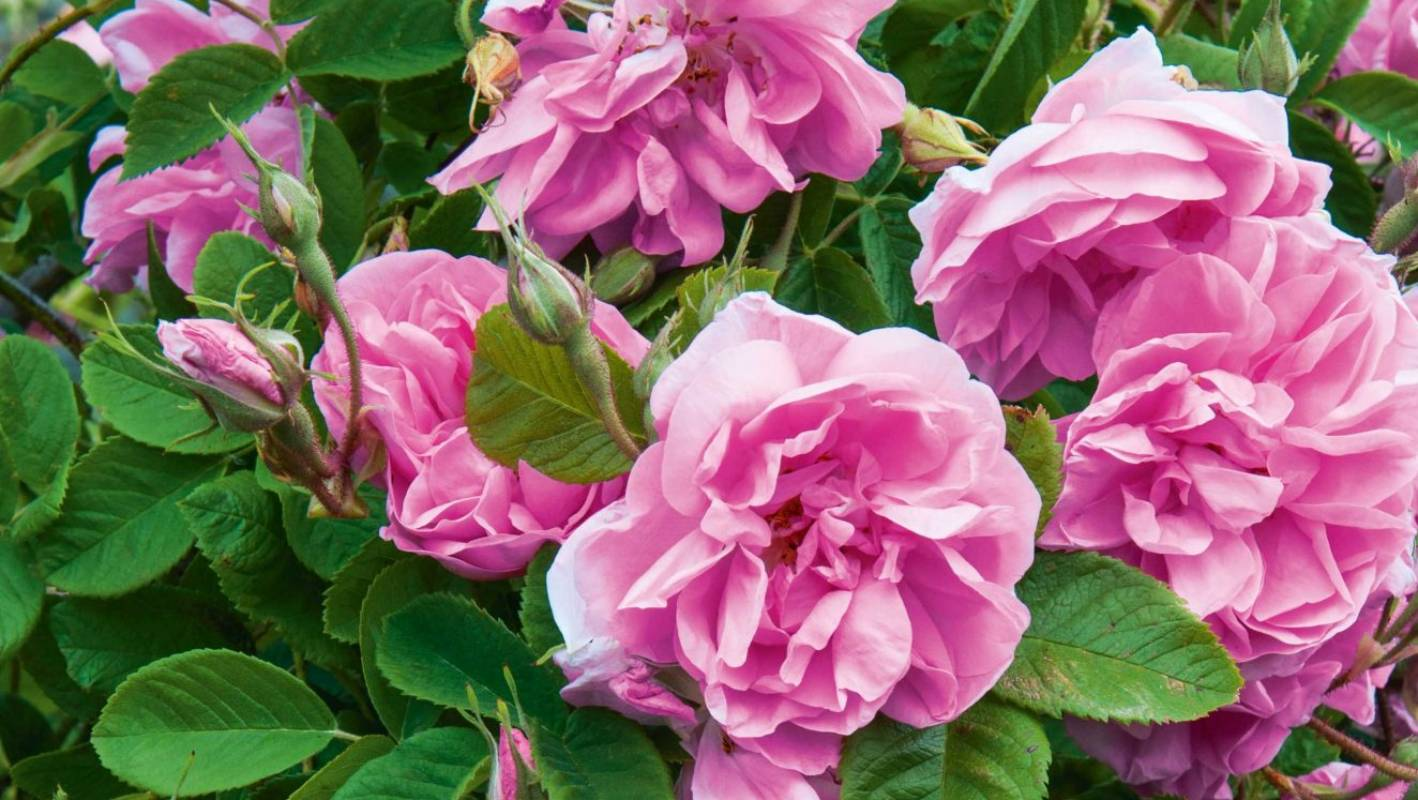 Classic beauties: You can t beat an old-fashioned shrub rose, says 17