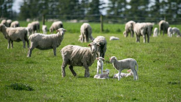 The Christchurch store lamb market got a boost from Southland lambs increasing the yarding.