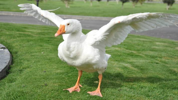 thomas the blind bisexual goose to be buried next to partner henry