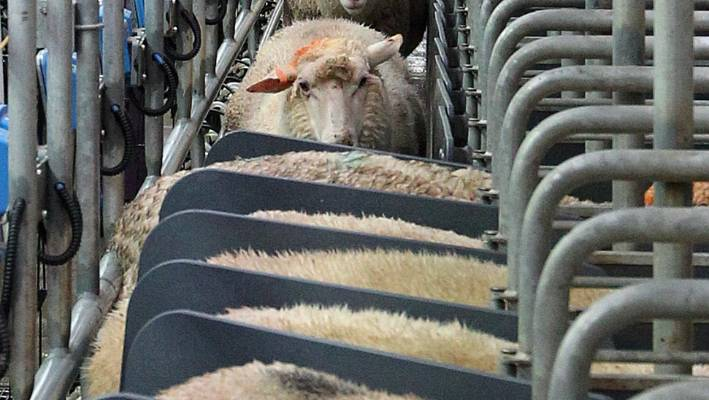 Dairy sheep milking is coming of age in New Zealand | Stuff co nz
