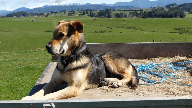 Some, such as Meg the farm dog, don't care whether the vehicles are called utes or pickups - so long as they have a tray out the back.