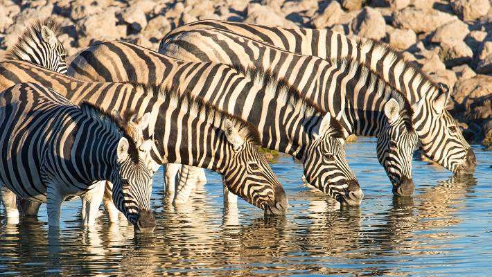 Why zebras have stripes: Black and white pattern 'dazzles' blood-sucking flies