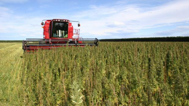 Harvesting hemp seed with a combine harvester.