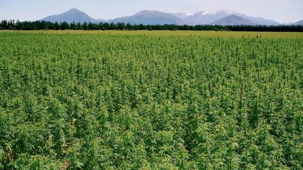 Commercial hemp plantings may expand to 2000 hectares.