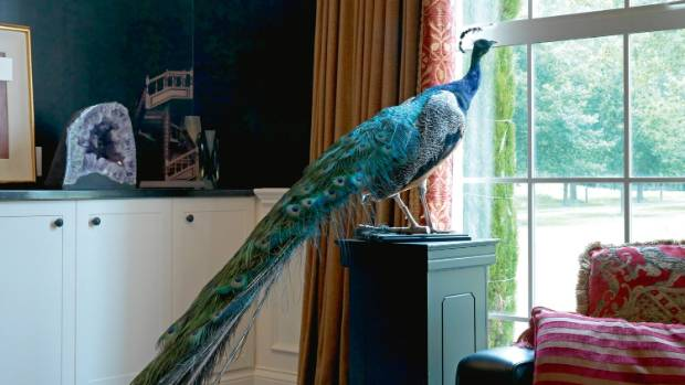 George the peacock in the sitting room.