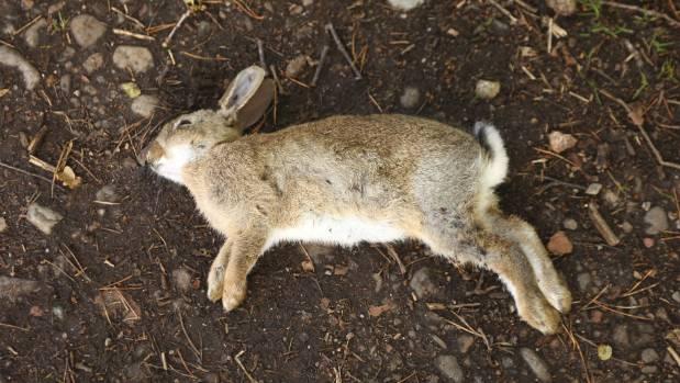 Se espera que más del 40% de la población de conejos sea erradicada por el virus K5.