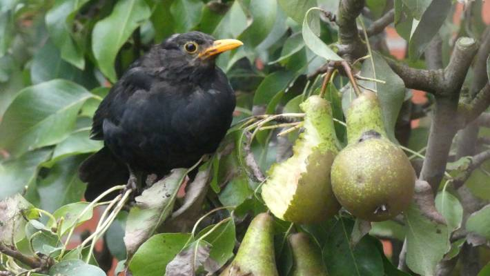 Blackbirds Can Be A Real Problem In The Garden And Orchard