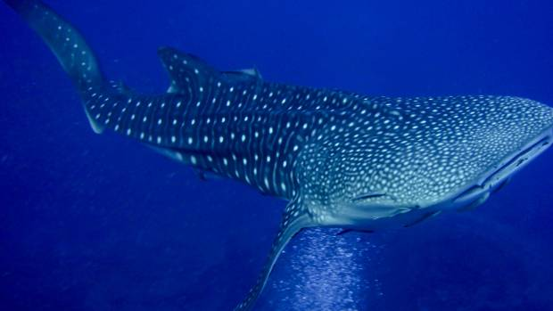 Despite its hulking appearance, the whale shark has only tiny, almost useless teeth and is sometimes so docile that ...
